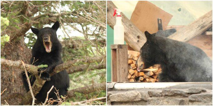 Black bears in Alaska