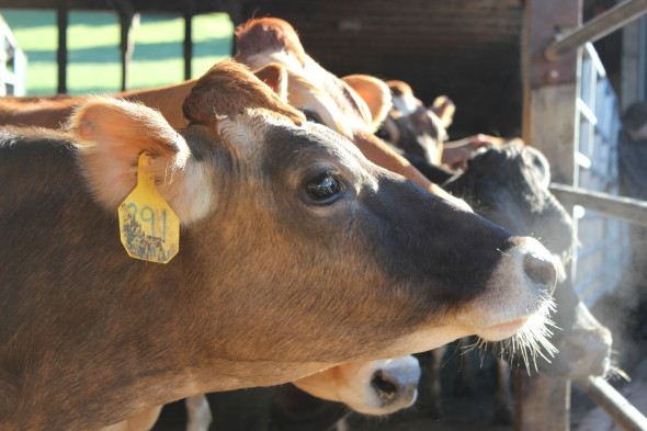 Happy cows on a Tillamook farm