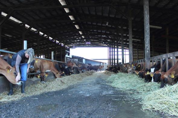 Feeding the Oregon Tillamook cows