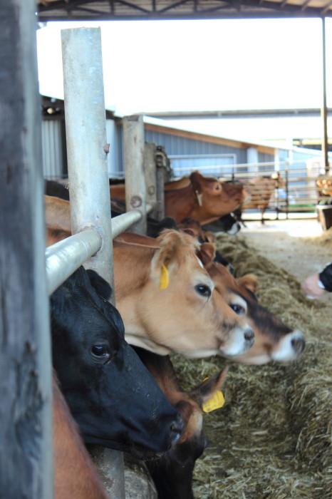 More happy Oregon cows