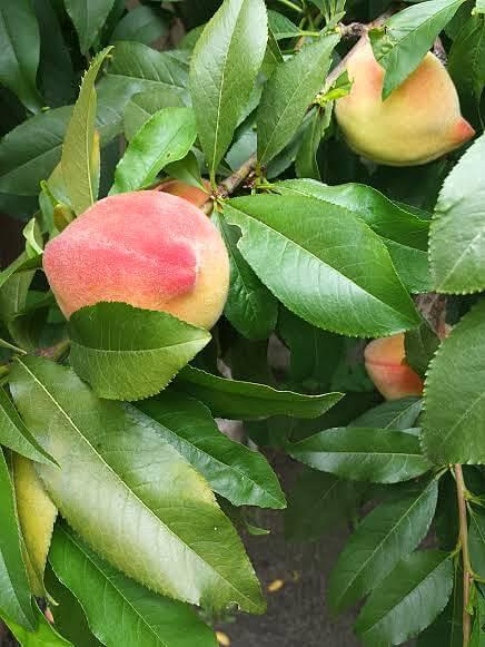 Fresh peaches on my tree